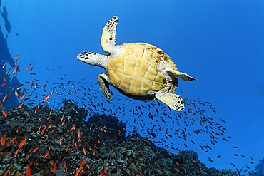 Hawksbill sea turtle (Eretmochelys imbricata) swimming above a coral reef, seen from below, Sharp Sinead, Egypt, Red Sea, Africa