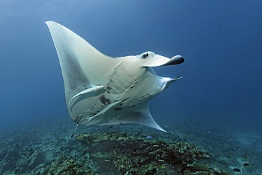 Manta Ray (Manta birostris) with Remora (Echeneis naucrates) swimming above coral reef to cleaning station, Great Barrier Reef, UNESCO World Heritage Site, Cairns, Queensland, Australia, Pacific