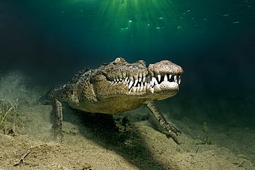 American crocodile (Crocodylus acutus), underwater, head-on, underwater on sandy bottom, Head, mouth, set of teeth, Republic of Cuba, Caribbean Sea, Central America
