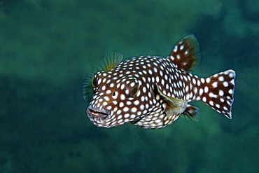 Guineafowl puffer (Arothron meleagris), dotted phase, San Benedicto Island, near Socorro, Revillagigedo Islands, archipelago, Mexico, eastern Pacific