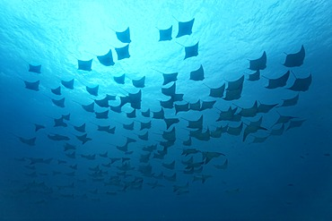 Shoal of golden cownose rays (Rhinoptera steindachneri), swimming in the open sea, Gardner Bay, Española Island also known as Hood Island, Galápagos Islands, a World Heritage - natural site, Ecuador, South America, Pacific Ocean