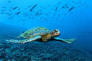 Green sea turtle (Chelonia mydas) swimming over a reef, a shoal of fish at the back, Punta Cormorant, Floreana Island, Galápagos Islands, a World Heritage - natural site, Ecuador, South America, Pacific Ocean