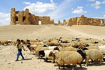 Shepherd and flock of sheep in front of the ruins of the Byzantine Resafa fortress, Sergiopolis, Syria, Asia