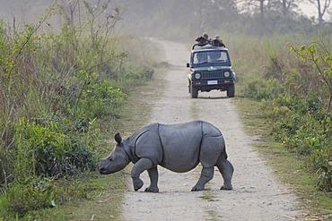 Rhinoceros (Rhinocerotidae), young crossing a dirt track, Kaziranga National Park, Assam, northeast India, India, Asia