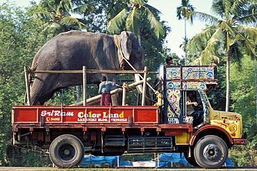 Elephant loaded on a truck, Arattupuzha-Pooram festival, near Thrissur, Kerala, southern India, India, Asia
