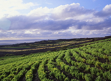 Agriculture, field near Ye, Lanzarote, Canary Islands, Spain, Europe