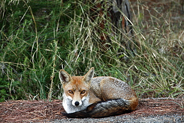 European fox (Vulpes vulpes) resting on the ground, Parco Regionale della Maremma nature reserve, Tuscany, Italy, Europe