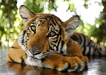 Tiger lying down, Bangkok, Thailand, Asia