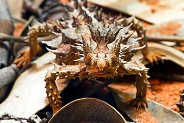 Thorny devil, thorny lizard (Moloch horridus), Northern Territory, Australia