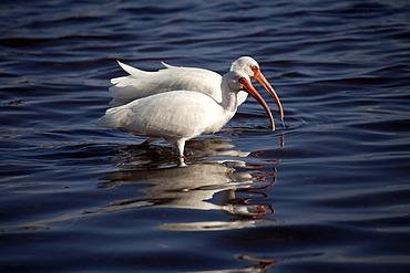 American White Ibis (Eudocimus albus), Marathon, Florida Keys, Florida, USA