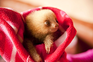Three-toed-sloth (Bradypus), young in a blanket, Toucan Rescue Ranch, San Isidro de Heredia, Costa Rica, Central America