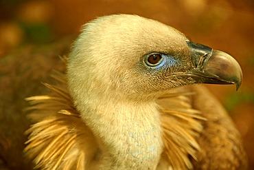 Griffon Vulture (Gyps fulvus), native bird of Cres Island, Beli, Croatia, Europe
