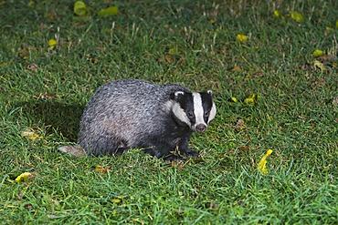 European badger (Meles meles), in grass, south east England, United Kingdom, Europe