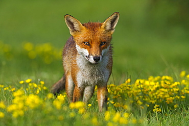 Red fox (Vulpes vulpes), in meadow, after a rain shower, south east England, United Kingdom, Europe