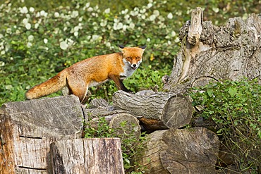 Red fox (Vulpes vulpes) standing on felled logs, south east England, United Kingdom, Europe
