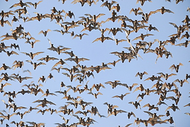 Mexican Free-tailed Bat (Tadarida brasiliensis), swarm in flight, Bracken Cave, San Antonio, Hill Country, Central Texas, USA