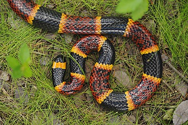 Texas Coral Snake (Micrurus tener), adult, Fennessey Ranch, Refugio, Corpus Christi, Coastal Bend, Texas Coast, USA