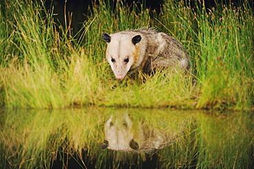 Virginia Opossum (Didelphis virginiana), adult drinking from wetland lake, Fennessey Ranch, Refugio, Coastal Bend, Texas Coast, USA