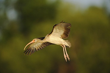 White Ibis (Eudocimus albus), immature in flight, Fennessey Ranch, Refugio, Coastal Bend, Texas Coast, USA