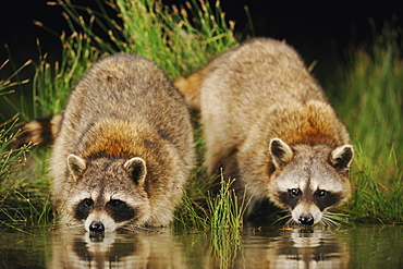 Northern Raccoon (Procyon lotor), adults at night drinking from wetland lake, Fennessey Ranch, Refugio, Coastal Bend, Texas Coast, USA