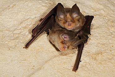 Mehely's horseshoe bat (Rhinolophus mehelyi) in a cave, Sardinia island, Italy, Europe