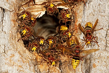 European hornets (Vespa crabro), workers on the entrance to the nest, former nesting hole of a great spotted woodpecker, Thuringia, Germany, Europe