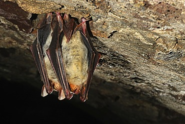 Greater mouse-eared bat (Myotis myotis) in winter quarters, Thuringia, Germany, Europe