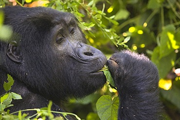 """Habituated group of mountain gorillas (Gorilla beringei beringei), Bwindi Impenetrable Forest National Park, being studied by scientists from the Max Planck Institute for Evolutionary Anthropology Leipzig, image showing """"Marembo"""", oldest blackback of the"""