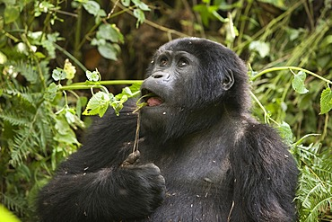 """Habituated group of mountain gorillas (Gorilla beringei beringei), Bwindi Impenetrable Forest National Park, being studied by scientists from the Max Planck Institute for Evolutionary Anthropology Leipzig, image showing """"Kabandiize"""", young male, born Sept"""