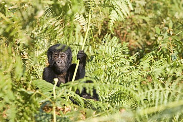 """Habituated group of mountain gorillas (Gorilla beringei beringei), Bwindi Impenetrable Forest National Park, being studied by scientists from the Max Planck Institute for Evolutionary Anthropology Leipzig, image showing """"Thursday"""", female baby, born Septe"""