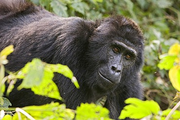 """Habituated group of mountain gorillas (Gorilla beringei beringei), Bwindi Impenetrable Forest National Park, being studied by scientists from the Max Planck Institute for Evolutionary Anthropology Leipzig, image showing """"Matu"""", female, Ruhija, Uganda, Afr"""