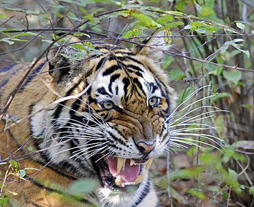 Tiger (Panthera tigris), snarling with anger, Ranthambore National Park, Rajasthan, India, Asia