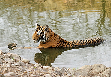 Tiger (Panthera tigris), lying in water, Ranthambore National Park, Rajasthan, India, Asia