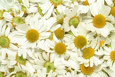 Wild - or German Chamomile (Chamomilla recutita, Matricaria recutita), medicinal plant