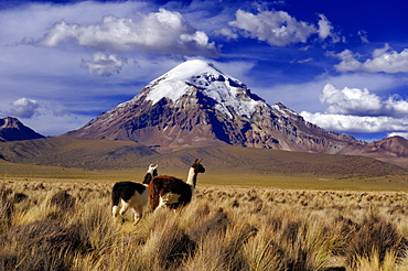 Sajama Mountain, Bolivia's highest mountain with the high plateau and Llamas (Llama sp.), Sajama National Park, La Paz, Bolivia, South America