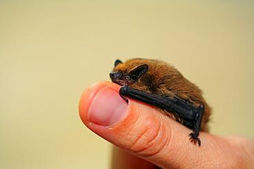 Pipistrelle (Pipistrellus pipistrellus) sitting on a thumb