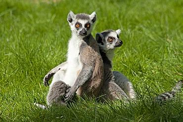 Ring-tailed lemurs (Lemur catta), Serengeti Park zoo and leisure park, Hodenhagen, Lower Saxony, Germany, Europe