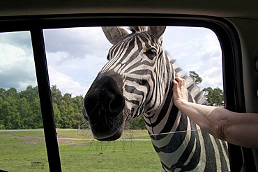Plains zebra, common zebra or Burchell's zebra (Equus quagga), being stroked through an open car window, Serengeti Park, Hodenhagen, Lower Saxony, Germany, Europe
