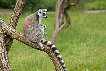 Ring-tailed lemur (Lemur catta), Serengeti Park, Hodenhagen, Lower Saxony, Germany, Europe