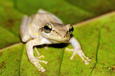 Tropical frog sitting on a leaf, Madagascar, Africa