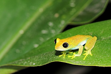 Green Tree Frog (Boophis luteus), Perinet Nature Reserve, Madagascar, Africa