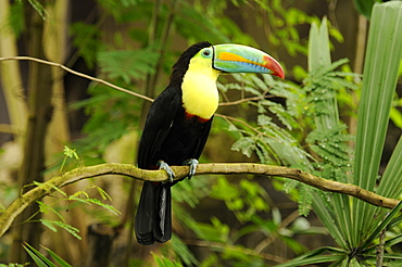 Keel-billed Toucan, Sulfur-breasted Toucan, Rainbow-billed Toucan (Ramphastos sulfuratus)