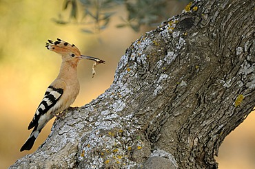 Hoopoe (Upupa epops), sitting with food on an old olive tree