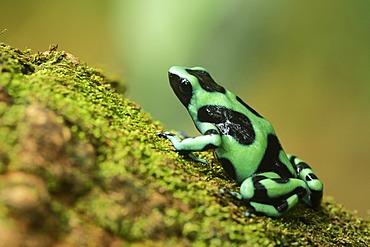 Green and black poison dart frog (Dendrobates auratus), Tenorio Volcano National Park, Costa Rica, Central America