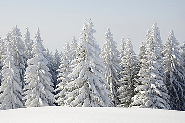 Snow-covered Spruce trees (Picea abies) in a winter landscape, near Elbach, Leitzachtal valley, Upper Bavaria, Germany, Europe