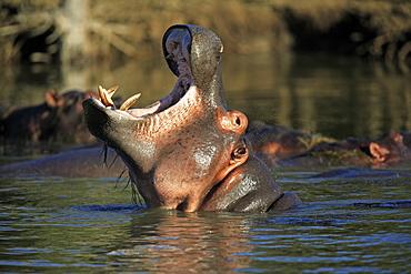 Hippopotamus (Hippopatamus amphibius), yawning or threatening adult, St. Lucia Wetland Park, South Africa, Africa