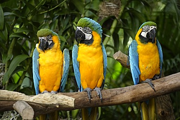 Blue and Gold Macaws (Ara ararauna), adult birds on a branch, South America