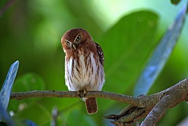 Ferruginous Pygmy-owl (Glaucidium brasilianum), adult bird on a branch, Pantanal, Brazil, South America