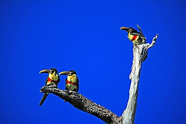 Chestnut-eared Aracari (Pteroglossus castanotis), adult birds on a tree, Pantanal, Brazil, South America