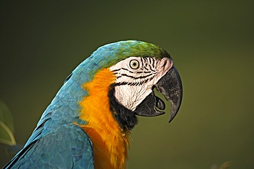 Blue-and-yellow Macaw (Ara ararauna), adult on a branch, Pantanal, Brazil, South America